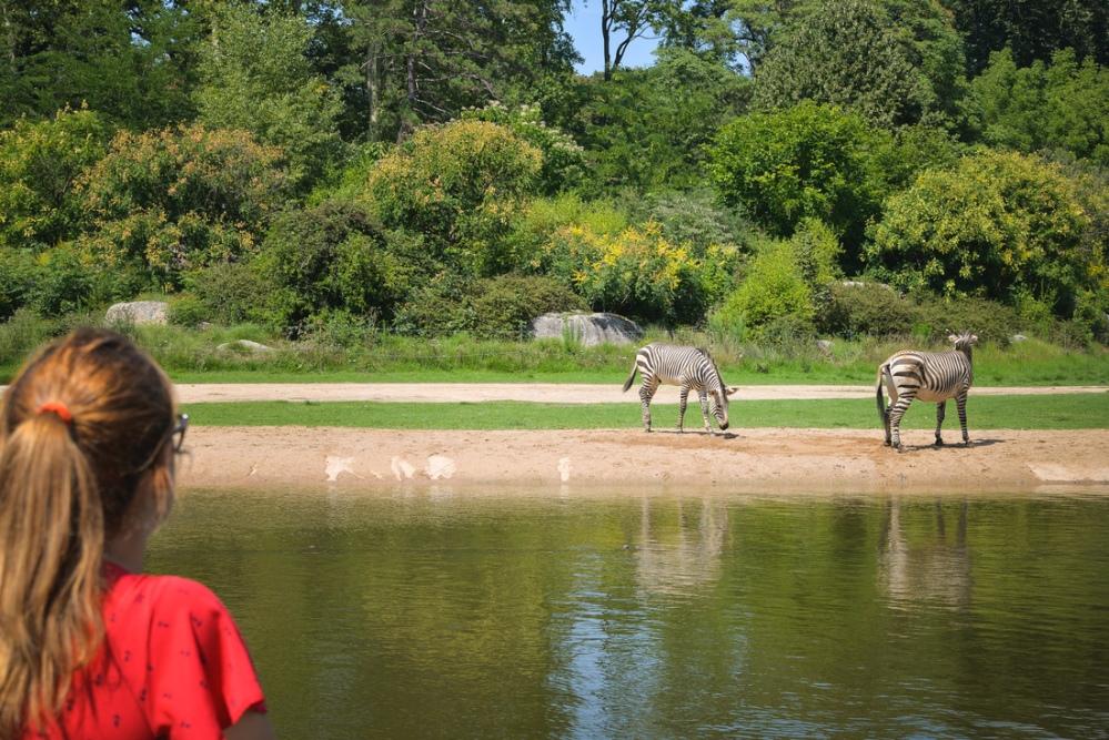 regarder-les-zebres-parc-de-la-tete-d-or