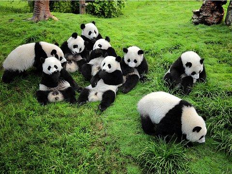 bébé pandas chengdu 大熊猫基地